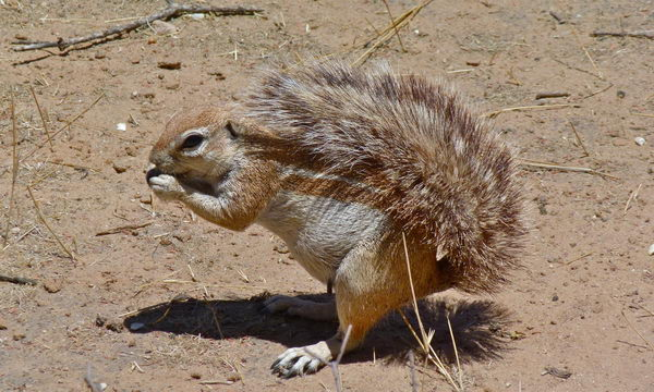 Земляная белка Gr_squirrel_02