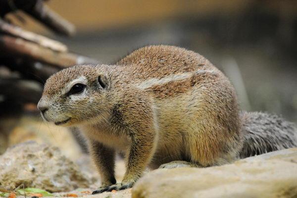 Земляная белка Gr_squirrel_03