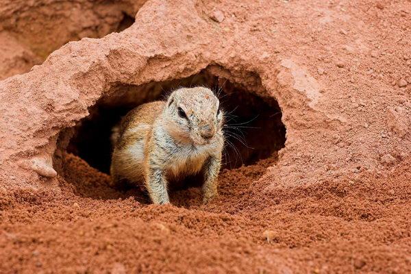 Земляная белка Gr_squirrel_04