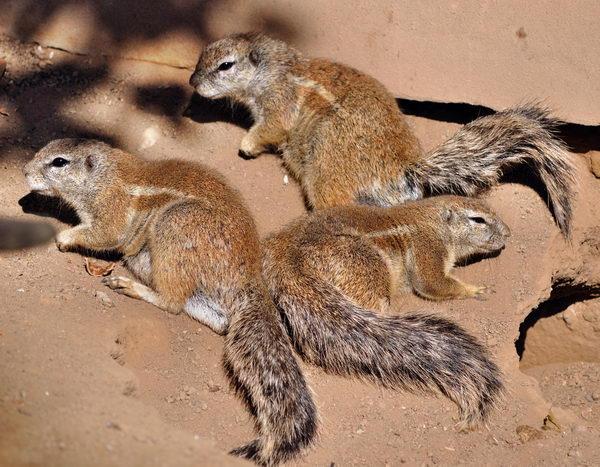 Земляная белка Gr_squirrel_05