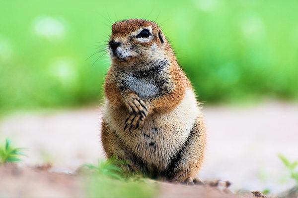 Земляная белка Gr_squirrel_06