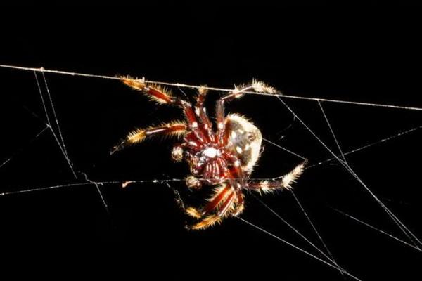Паук Дарвина – творец уникальных сетей Darwin_spider_web_creator_01