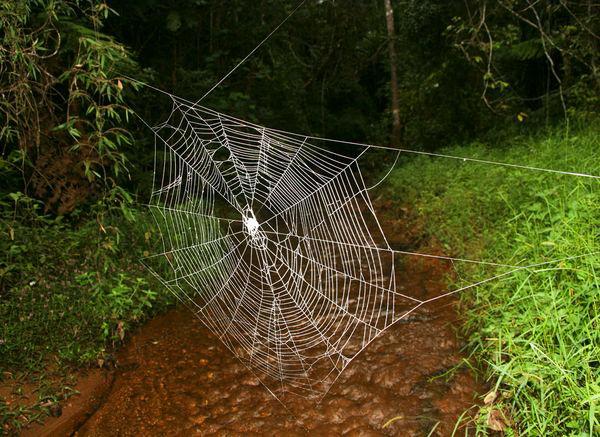 Паук Дарвина – творец уникальных сетей Darwin_spider_web_creator_02