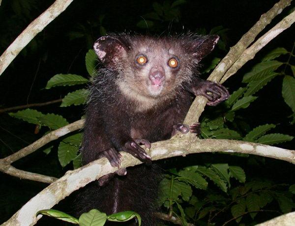Мадагаскарская руконожка – Айе-Айе Aye_aye_01