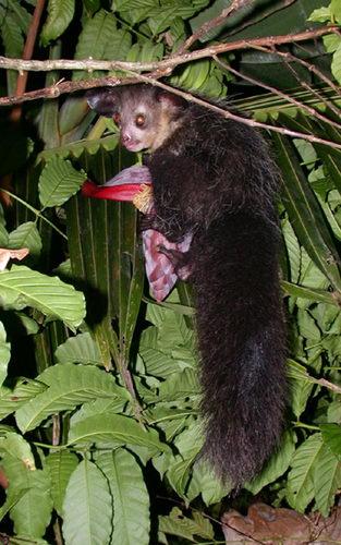 Мадагаскарская руконожка – Айе-Айе Aye_aye_02