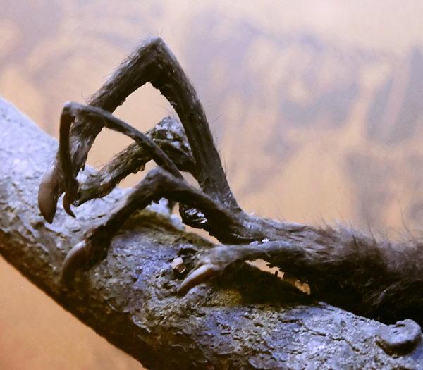 Мадагаскарская руконожка – Айе-Айе Aye_aye_03