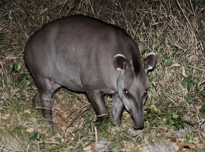 тапиры Tapirus_bairdii_05
