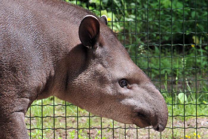тапиры Tapirus_terrestris_02