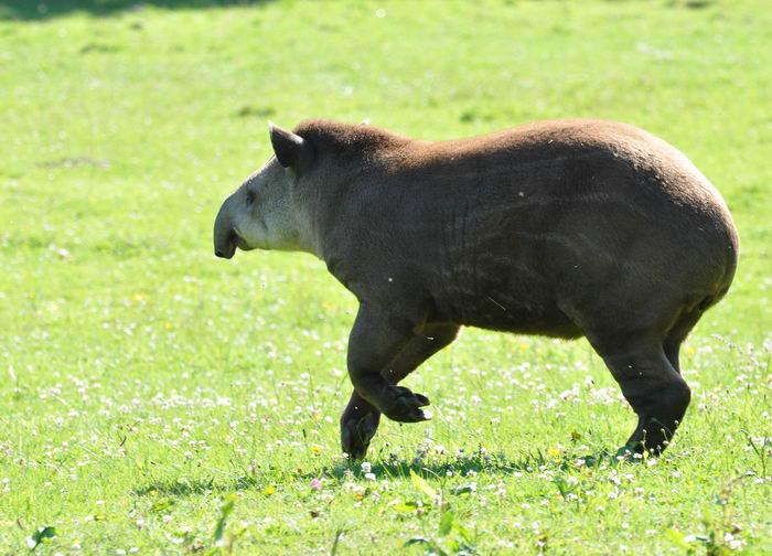 тапиры Tapirus_terrestris_03
