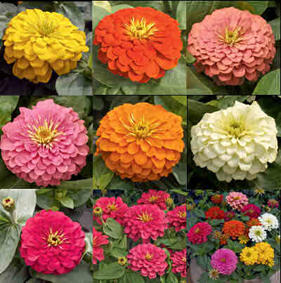 PLANTS AND FLOWERS  A - Z - Page 2 Zinnia