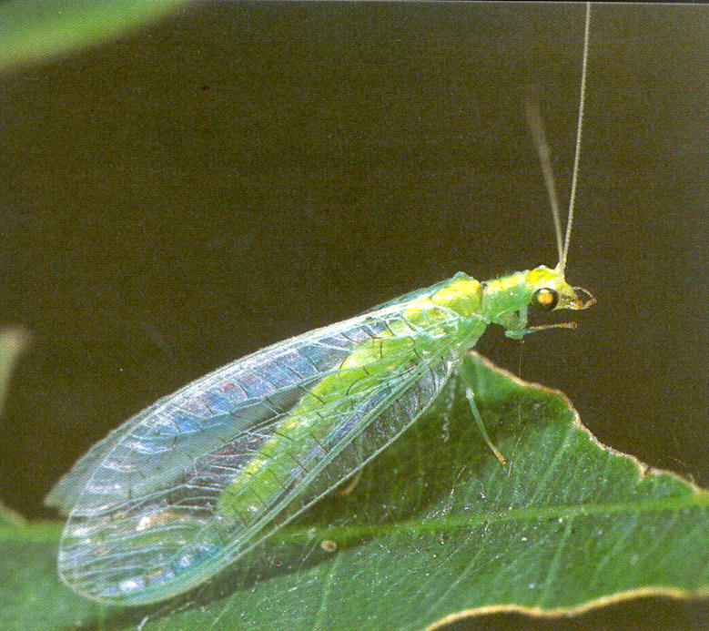 Bộ sưu tập côn trùng 2 - Page 24 Chrysopa_viridana_html_m1700a3cd
