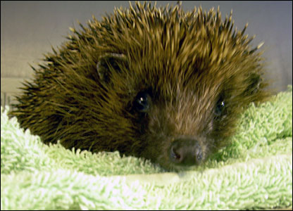 Slike životinja _42658285_animals_hhhog_bbc