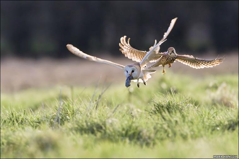 Falconiformes. sub Falconidae - sub fam Falconinae - gênero Falco - Página 3 _47207889_owl_kestrel766hancox