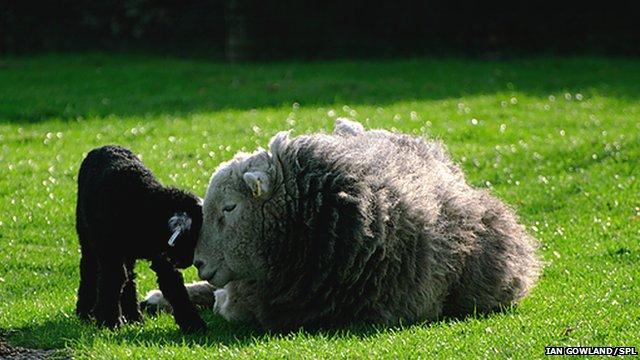 nombre - Virus de Schmallenberg _65877804_c0110523-herdwick_ewe_with_lamb-spl