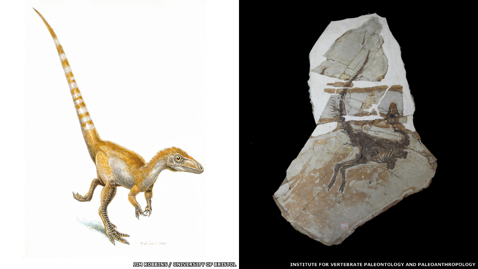 Dinosaurs and other Prehistoric Animals - Page 2 _68435461_sinosauropteryx_comparison