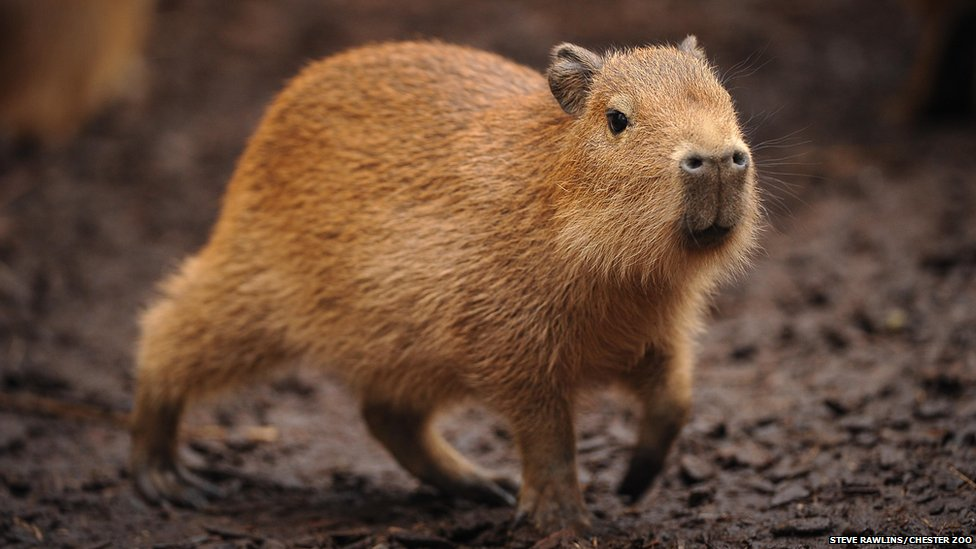 Un animal - Blucat - 4 Novembre trouvé par Martine - Page 2 _72748973_capybara-6