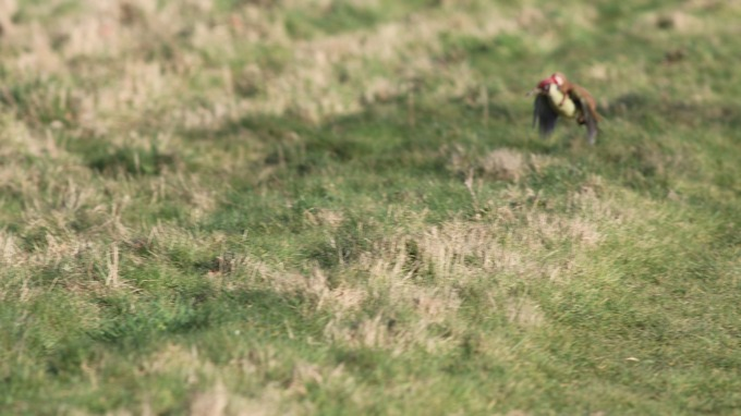 Woodpecker shown flying with weasel on its back in amateur photographer's amazing image Stream_img