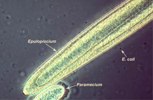 البكتيريا العملاقة The-Secret-of-the-World-039-s-Largest-Bacterium-Revealed-2