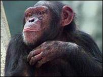 موسوعة صدق أو لا تصدق - متجدد- حصريا على منتدى واحة الإسلام - صفحة 3 _39241619_chimp_bbc_203