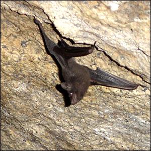 حيوانات مهددة بالأنقراض _41117120_bat_bbc300