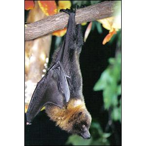 حيوانات مهدده بالانقراض _41117122_flyingfox_bbc300jpg