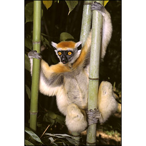 حيوانات مهددة بالأنقراض _41117124_lemurs_bbc300