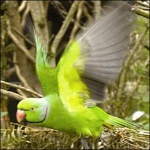 حيوانات مهددة بالأنقراض _41117126_parakeet_bbc300
