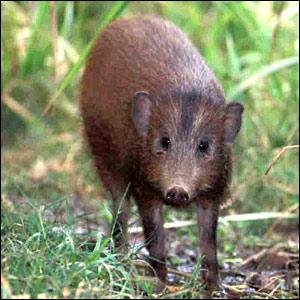 موسوعة الحيوانات المهددة بالإنقراض _41117128_pygmyhog_bbc.jgg