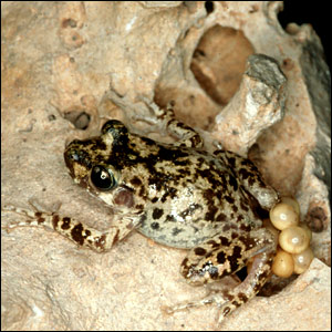 موسوعة الحيوانات المهددة بالإنقراض _41117130_toad_bbc300