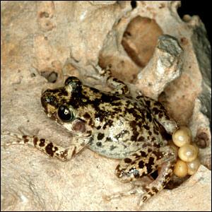 حيوانات مهددة بالأنقراض _41117130_toad_bbc300