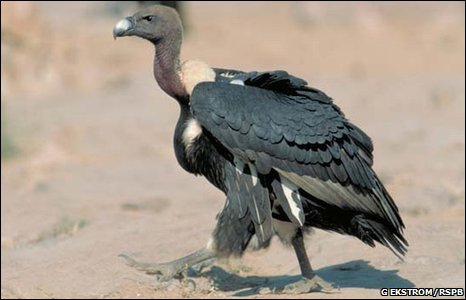 Do we really know how intelligent animals are? _46882037_vultures-3