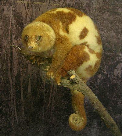 Animal de ptit loulou - 7 décembre trouvé par Lolo Cuscus