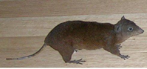 Animal de ptit loulou - 7 décembre trouvé par Lolo Hypsyprymnodon