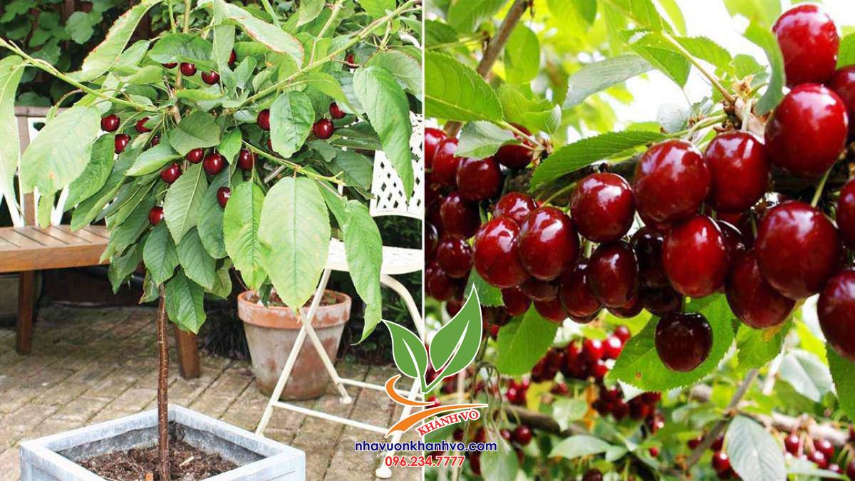 Cây giống Cherry Mỹ, trái đỏ, chiều cao 1m2 !!!! O