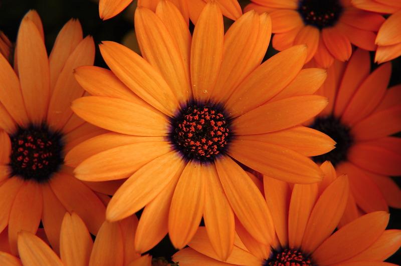 Orange - Page 3 20061022185404_orange%20flowers