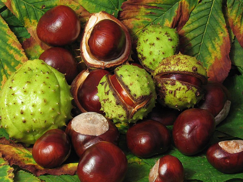Aesculus hippocastanum 800px-aesculus_hippocastanum_fruit
