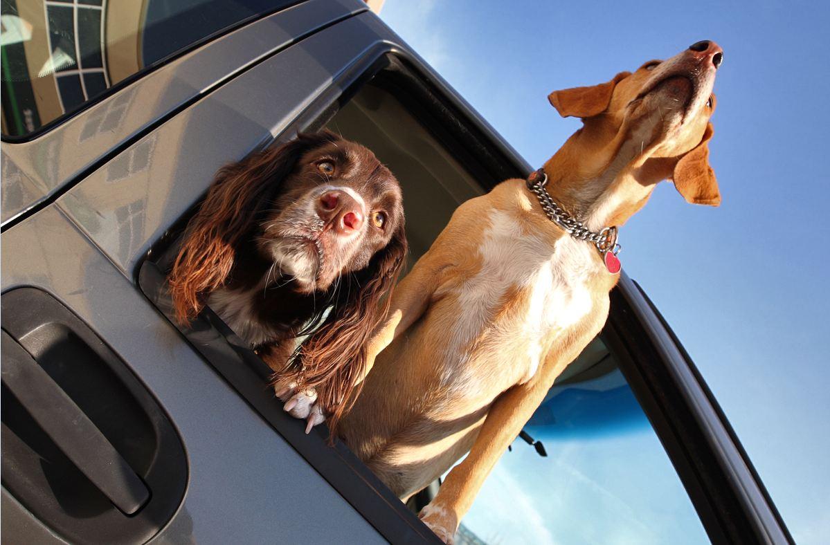 Una lápida o un perro, objetos perdidos en coches de alquiler Coche-perros-ventanilla1