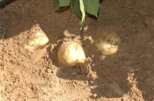 تحميل كتاب معلومات وطريقة زراعة وانتاج البطاطس 4