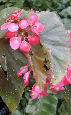 Begonias 2dvsiyx