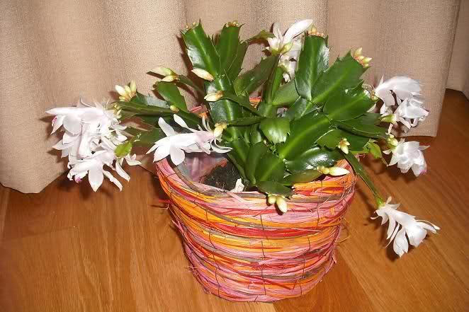 Cactus de Pascua, Cactus de Navidad, Pluma Sta Teresa y similares..... 2ir3p5l