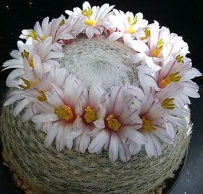 Mammillaria lenta 2ut3mhg