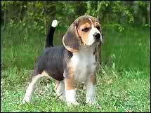 Beagle 2pyz42t