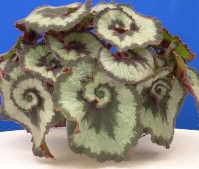 Begonias 2vmht9z