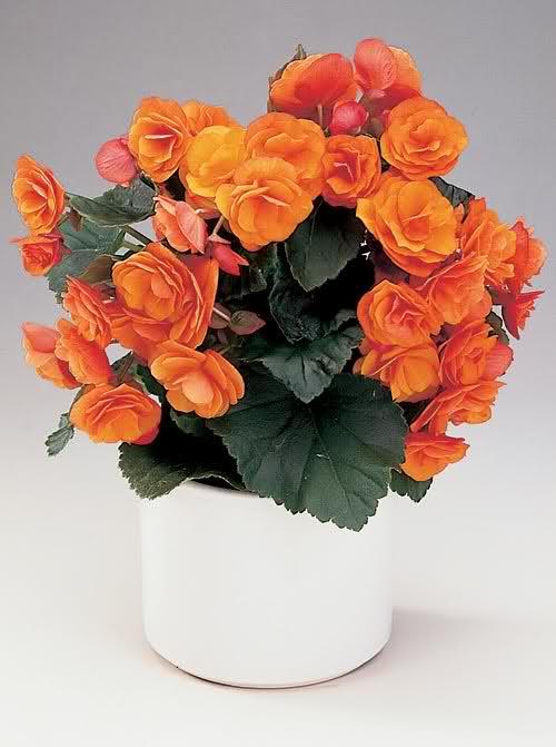 Begonias 348q5oz