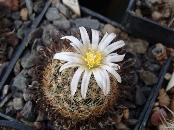 Mammillaria weingartiana 1427ghs