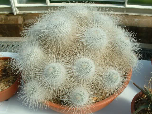 Mammillaria geminispina 30nbr4o