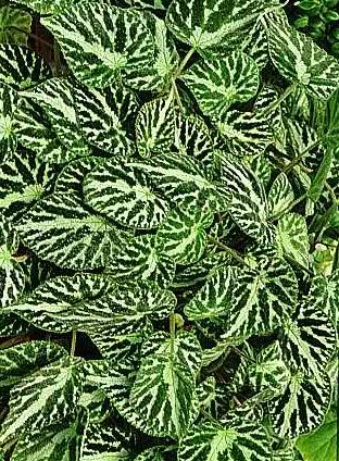 Begonias J97kep