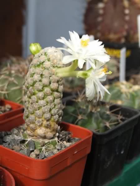 Mammillaria theresae (white flower) N5ix53