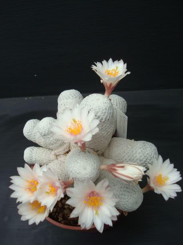 Mammillaria herrerae ssp. albiflora S5k7qf