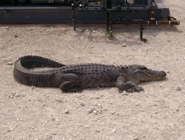 العثور على تمساح بحيرة الأربعين Wt6a0w